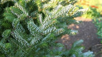 'Horstmann's Silberlocke'  (Abies koreana) is also available in a prostrate form that will slowly cover a bank or open area.