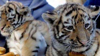 Two of three nine-week-old Amur tiger cubs are introduced to the public at the Pittsburgh Zoo & PPG Aquarium.