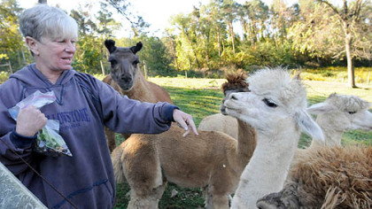 Nada Sarkin&#039;s alpacas, with Joe the llama in the background, crowd around her treat bag.