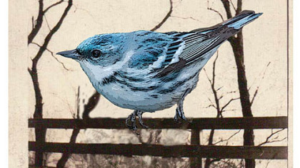 "The Cerulean Warbler is a species endangered by the loss of its nesting grounds in West Virginia because of the coal mining practice of mountaintop removal. In the novel ""Freedom,"" efforts to save the bird, endanger a marriage."